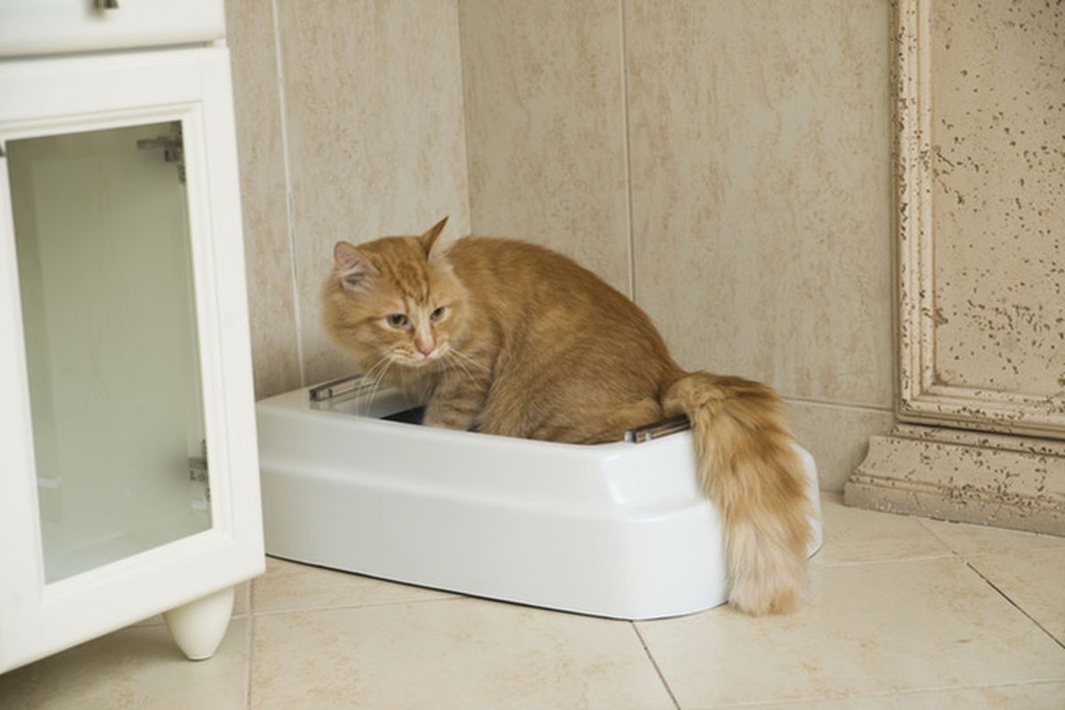 Causes of Cat Urine Coloring - What You Should Know A healthy cat can be mistaken for a normal one by the color of its urine, and this is a great indicator for you to go and get it checked up for any possible illness. The strange and unusual urine color could indicate several things, from an infection in the bladder or urethra, to severe kidney failure. If your cat suddenly develops any of these symptoms, it is best to have it checked up right away. Not taking care of a sick or injured cat can be fatal, and so it is important to take all steps that you can to make sure that your cat stays healthy and strong. abnormal cat urine color It can be hard to determine the cause of your cat urine color because there are some very rare conditions which cause bright blue or green colored urine. These are rare, but the fact is that they do exist. It's not necessary to suffer with the uncertainty of what your cat is doing wrong because there are products available today that are quite effective at providing relief to owners who suffer from this problem. These products work to calm your cat, and the calming effects of them last long after the treat has been used. Uterine tumors, bladder stones, kidney failure, and other serious illnesses can result in a cat urinating in strange colors such as blue, green, or even black. All these colors can also be caused by urinary tract infection in cats and having the treat for your cat will help to prevent further damage to its bladder and urethra. It is wise to consult a veterinarian first before you use any treatments that may be prescribed. If you start noticing a change in your cat's urine after giving them the treatment, it is best to visit the vet immediately. Urinary tract infections are extremely painful and can cause serious damage to your cat if left untreated.
