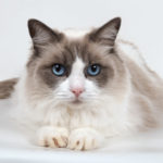 8 Affectionate Cat Breeds